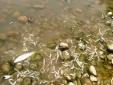 Thanh Hóa: Tôm, cá tự nhiên chết bất thường trên sông Âm