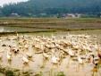 Dịch cúm H5N1 tái xuất tại Nghệ An