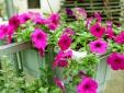 Kỹ thuật trồng hoa Dạ Yến thảo tô điểm cho ban công nhà bạn