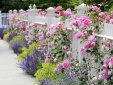 Kỹ thuật trồng hoa hồng leo quanh nhà hoa nở quanh năm