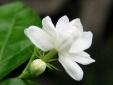 Kỹ thuật trồng hoa nhài cho thềm nhà bạn luôn ngát hương