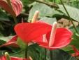 Kỹ thuật trồng và chăm sóc hoa hồng môn nở đúng dịp Tết