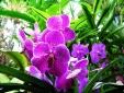 Kỹ thuật trồng và chăm sóc hoa phong lan nở bung chơi Tết