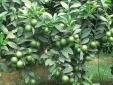 Kỹ thuật trồng cây chanh tứ quý sai trĩu cành quanh năm