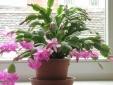 Kỹ thuật trồng cây lan càng cua cho hoa nở rực rỡ mùa xuân