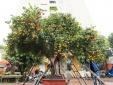 Cận cảnh cây quýt rừng 107 năm tuổi sai trĩu quả rao giá nửa tỷ đồng