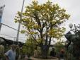 Cây mai cổ tiền tỷ trở thành tâm điểm chợ hoa Đà Nẵng