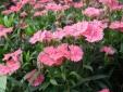 Kỹ thuật trồng cây hoa cẩm nhung cho mùa Xuân thêm rực rỡ