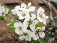 Hoa lê trong Truyện Kiều ngập chợ hoa Quảng An với giá tiền triệu