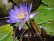 Kỹ thuật trồng cây hoa Súng tại nhà đẹp 'bừng sáng' một góc vườn