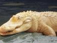 Cận cảnh cá sấu bạch tạng, mắt hồng cực quý hiếm