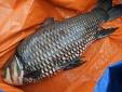 Cá hô 'khủng' gần trăm triệu đồng sa lưới ngư dân TP.HCM