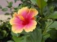 Kỹ thuật trồng cây hoa dâm bụt lùn mang sinh khí tươi trẻ cho không gian làm việc