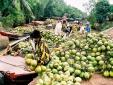 Xứ dừa Bến Tre phải nhập dừa: Nguyên nhân do dâu?
