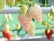 Kỹ thuật trồng dâu tây dứa tại nhà quả sai trĩu cành khiến ai cũng phát thèm
