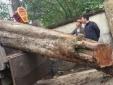 Vụ bán cây sưa 200 tuổi ở Bắc Ninh: Có sai phạm trong quá trình bán đấu giá?