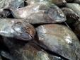 Thành phố Cẩm Phả: Phát hiện đối tượng chở gần 1 tấn cá 'đặc sản' đang phân hủy đi tiêu thụ