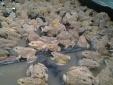 Kỹ thuật nuôi ếch thịt nhàn tênh lại 'lãi ròng'