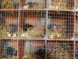 Kỹ thuật nuôi Dúi giúp người nông dân thành 'triệu phú' ngay trên đất quê