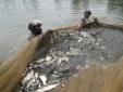 Kỹ thuật nuôi cá trắm cỏ cho người nông dân 'rủng rỉnh bạc tiền'