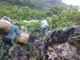 25.000đ/kg na Lạng Sơn: Bất ngờ biết hành trình trèo đèo lội suối hái na của người nông dân