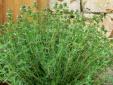 Trồng cỏ xạ hương vừa được ăn vừa được ngắm lại chữa bệnh hiệu quả