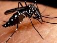 Sự thật về loài muỗi truyền sốt xuất huyết dengue