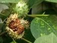 Cây độc: Loài cây bị liệt vào 'nghệ thuật hắc ám' gây mê sảng, ảo giác