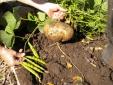 Cây độc: Bộ phận này của cây củ đậu độc không ngờ, có thể tử vong