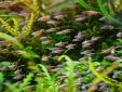 Nuôi cá neon lấp lánh trong bể thủy sinh tưởng khó mà hóa dễ