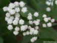 Cây độc: Loài hoa mỏng manh nhưng từng cướp đi sinh mạng hàng nghìn người
