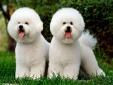 Kỹ thuật nuôi chó Bichon Frise xinh xắn hiền hòa ai nhìn cũng 'cưng'