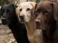 Kỹ thuật nuôi chó Labrador Retriever dũng mãnh nhưng hết sức tình cảm