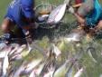 Kỹ thuật nuôi cá basa trong bè 'lớn nhanh như thổi' lại tiết kiệm chi phí
