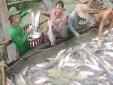 kỹ thuật nuôi cá tra trong ao năng suất lớn cho lãi ròng