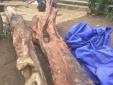 Đào được cây gỗ trắc đỏ quý hiếm trị giá hàng trăm triệu đồng