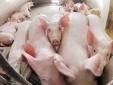 Giá cả thị trường ngày hôm nay (23/10): Giá lợn hơi tại miền Bắc tăng nhẹ so với cuối tuần