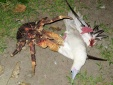 Không thể tin nổi 'quái vật cua' nặng 4kg, không biết bơi và ăn thịt chim