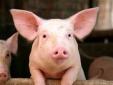 Giá cả thị trường hôm nay (22/11): Giá lợn hơi tại miền Bắc được giữ ổn định