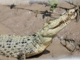 Cận cảnh cá sấu trắng cực hiếm mới được phát hiện ở Úc