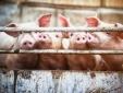 Giá cả thị trường hôm nay (25/11): Giá lợn hơi tại miền Bắc tăng nhẹ