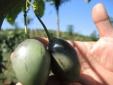 Siêu cà chua thân gỗ 1 triệu đồng/kg được trồng nhiều ở Lâm Đồng