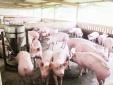 Giá cả thị trường hôm nay (17/12): Giá lợn hơi tại miền Bắc dao động từ 28.000-33.000 đồng/kg