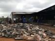 Đắk Nông: Lý do gì khiến 1.200 con lợn bị chết cháy?