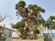 Hà Nội: Cây duối 'khủng' cao gần 4m rao giá 15 tỷ đồng gây choáng