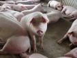 Giá cả thị trường ngày 21/2: Giá lợn hơi tại miền Bắc hôm nay biến động nhẹ