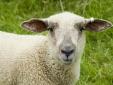 Tuyên bố kinh ngạc: Đứa con lai giữa cừu và người đầu tiên đang sống được 28 ngày