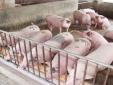 Giá cả thị trường ngày 22/2: Giá lợn hơi tại miền Bắc hôm nay tăng nhẹ ở một số tỉnh