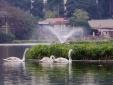Thông tin mới nhất về đàn thiên nga được thả ở hồ Thiền Quang