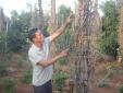 Thủ phủ hồ tiêu Gia Lai: Vỡ nợ vì 'vàng đen', loay hoay trồng cây ăn quả